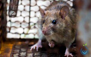 شركة مكافحة الفئران بالرياض, مكافحة فئران بالرياض, شركة صيد الفئران بالرياض, شركات مكافحة الفئران فى السعودية, افضل شركة مكافحة فئران بالرياض